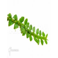 Dendrobium dichaeoidis