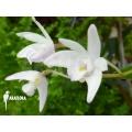 Orchid 'Dendrobium kingianum' 'White'