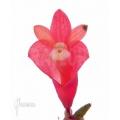 Orchid 'Dendrobium lawesii'