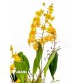 Orchid 'Dendrobium lindleyi 'Aggregatum''