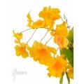 Orchid 'Dendrobium lindleyi 'Aggregatum' starter