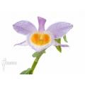 Orchid 'Dendrobium loddigesii' starter