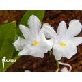 Orchid 'Dendrobium mutabile'