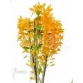 Orchid 'Dendrobium x Nobile Orange'