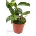 Orchid 'Dendrobium rhodostictum'