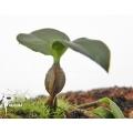 Orchid 'Dendrobium tetragonum'