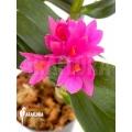 Orchid 'Dendrobium x Hibiki'