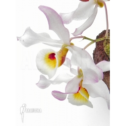 Dendrobium x 'Nobile hybride'