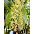 Orchid 'Dendrochilum abbreviatum'