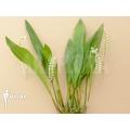 Orchid 'Dendrochilum cobbianum'