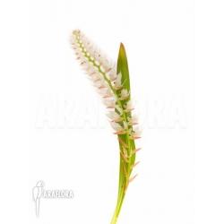 Dendrochilum glumaceum M