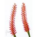 Orchid 'Dendrochilum wenzelii'