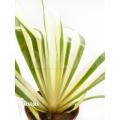 Dianella caerulea variegata