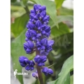 Blue ginger 'Dichorisandra thyrsiflora'