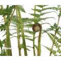 Tasmanian tree fern 'Dicksonia antarctica' (S)