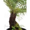 Tree fern 'Dicksonia fibrosa' (L)