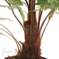 Tree fern 'Dicksonia squarrosa'
