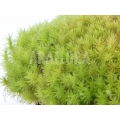 Tropical pillow moss Starter 'Dicranum species (Starter)'