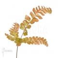 Elkhorn fern 'Didymochlaena truncatula'