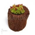 Venus flytrap 'Dionaea muscipula'