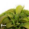 Venus flytrap 'Dionaea muscipula' 'All green'