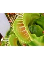 Album Flytrap (Venus flytrap)
