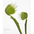 Venus flytrap 'Dionaea muscipula' 'Australian cup'