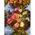 Venus flytrap Dionaea muscipula 'Australian cup' starter