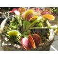 Venus flytrap 'Dionaea muscipula' 'B-52'