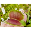 Venus flytrap 'Dionaea muscipula' 'B-52' starter