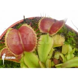 Dionaea muscipula Backtrack
