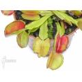 Venus flytrap 'Dionaea muscipula 'Bale out''
