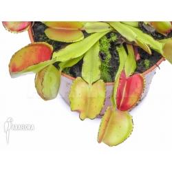 Dionaea muscipula 'Bale out'
