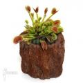 Venus flytrap 'Dionaea muscipula' 'Beauty star'