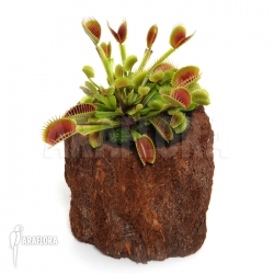 Dionaea muscipula 'Beauty star'