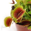 Venus flytrap 'Dionaea muscipula' 'Beauty star' 'S'
