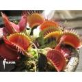 Venus flytrap 'Dionaea muscipula' 'Big mouth'