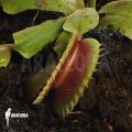 Venus flytrap 'Dionaea muscipula' 'Bitter moon'