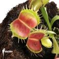 Venus flytrap 'Dionaea muscipula' 'Bloody square'