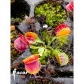 Venus flytrap Dionaea muscipula 'Bloody square' starter