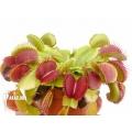 Venus flytrap 'Dionaea muscipula' 'Booby trap'