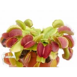 Dionaea muscipula 'Booby trap'