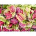 Venus flytrap 'Dionaea muscipula 'CCC''