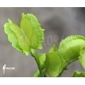 Venus flytrap 'Dionaea muscipula' 'Chacho'