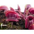 Venus flytrap Dionaea muscipula 'Clayton's red sunset'