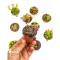 Venus flytrap Dionaea muscipula 'Collectors Package'