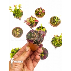 Dionaea muscipula 'Collectors Package'