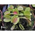 Venus flytrap 'Dionaea muscipula' 'Cracker'