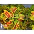 Venus flytrap 'Dionaea muscipula' 'Cracker' 'Starter'