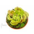 Venus flytrap Dionaea muscipula 'Crested Jaws Smiley'